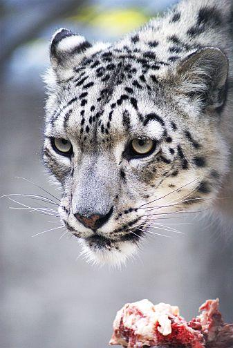 Snow mountain animals - photo#2